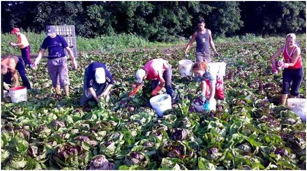 украинцы на плантации