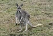 index  кенгуру